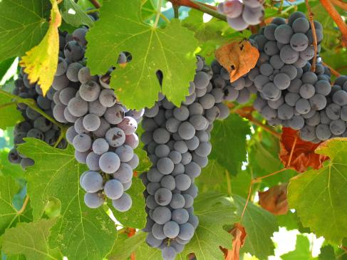 Nalewki z winogron - przepisy