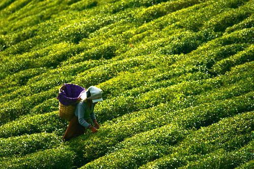 Zielona herbata - właściwości, działanie