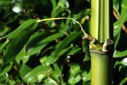 Bambus ogrodowy - sadzenie, uprawa, pielęgnacja