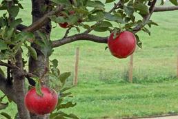 Jak nawozić drzewa owocowe?