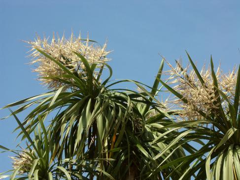 Juka ogrodowa - sadzenie, uprawa, pielęgnacja
