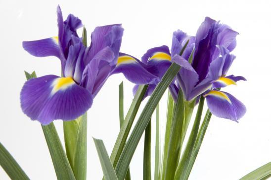 Irys - sadzenie, pielęgnacja, uprawa