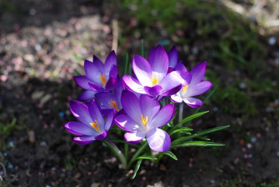 Krokusy - sadzenie, uprawa, pielęgnacja