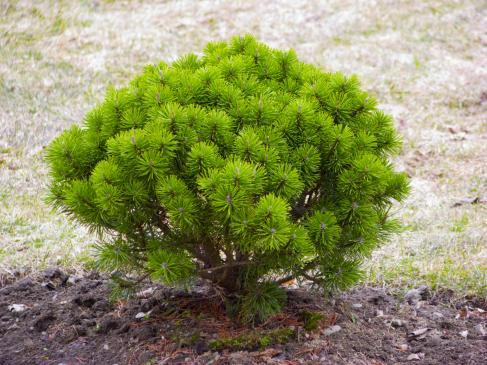 Jak przycinać krzewy ozdobne?