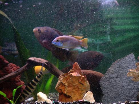 Rybki akwariowe - hodowla