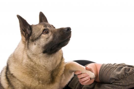 Jak nauczyć psa podawać łapę ?