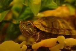 Jak przygotować terrarium dla żółwia?