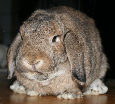 Co zrobić, kiedy królik jest agresywny?