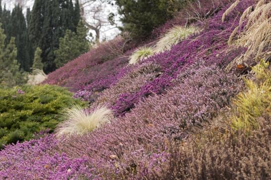 Rośliny wrzosowate – sadzenie, uprawa, pielęgnacja