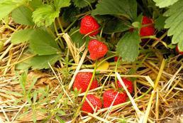 Truskawki – sadzenie, uprawa, pielęgnacja