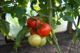 Pomidory – sadzenie, uprawa, pielęgnacja
