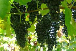 Winorośl – sadzenie, uprawa, przycinanie
