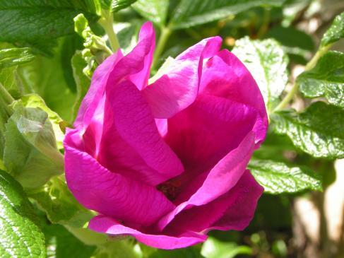 Jak przycinać róże pnące?