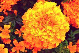 Aksamitki - sadzenie, uprawa, pielęgnacja