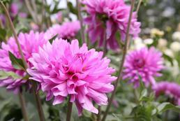 Astry - uprawa, sadzenie, pielęgnacja