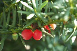 Cis - sadzenie, uprawa, pielęgnacja