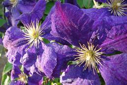 Clematis - sadzenie, uprawa, pielęgnacja