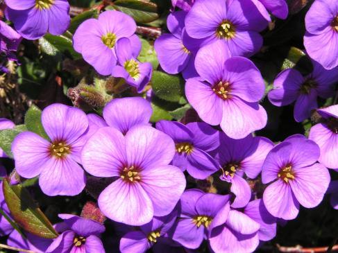 Floksy - sadzenie, uprawa, pielęgnacja