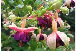 Fuksja - sadzenie, uprawa, pielęgnacja