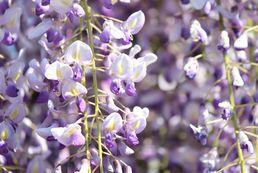Glicynia - sadzenie, uprawa, pielęgnacja