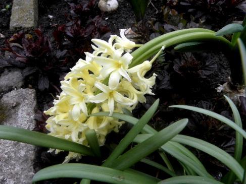 Hiacynty - sadzenie, uprawa, pielęgnacja