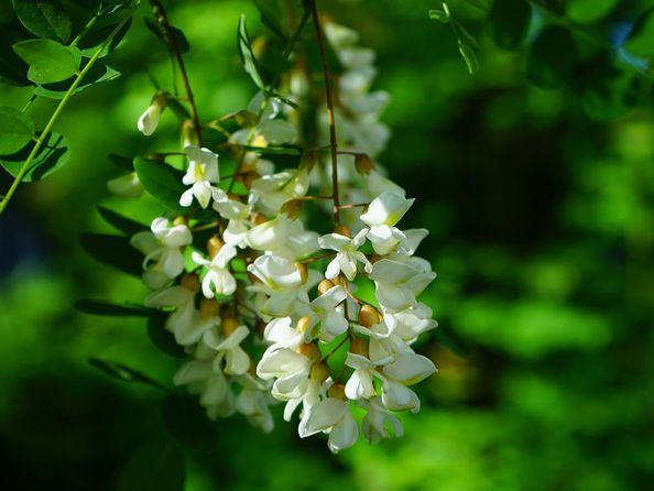 Robinia biała - sadzenie, uprawa, pielęgnacja