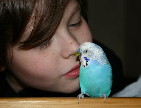 Papużki faliste - hodowla