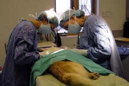 Sterylizacja zwierząt – wady i zalety