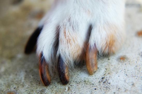 Jak obciąć pazury psu?
