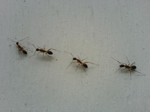 Jak zwalczyć mrówki z balkonie?