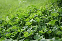 Jak pozbyć się koniczyny z trawnika?