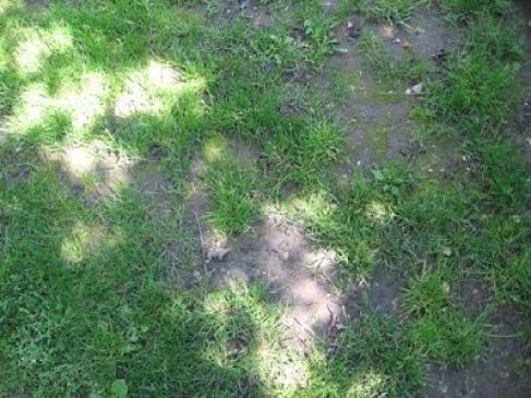 Choroby trawnika - zwalczanie