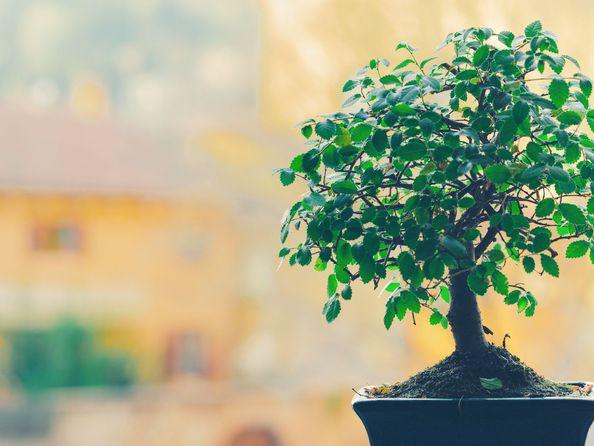 Drzewko bonsai - pielęgnacja