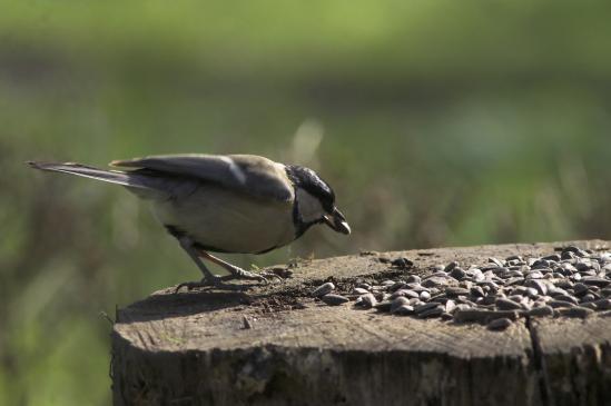 Kiedy, jak, czym dokarmiać ptaki?
