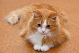 Ciąża u kota - objawy