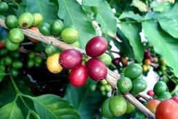 Uprawa kawy w domu