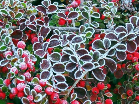 Jak zabezpieczyć rośliny przed mrozem?