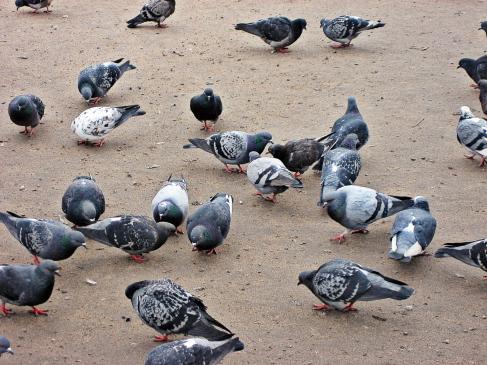 Lęk przed gołębiami - objawy, co robić?