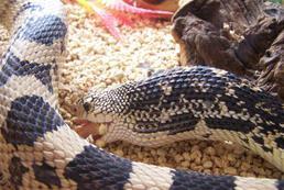 Czym karmić węża? Żywy, martwy pokarm