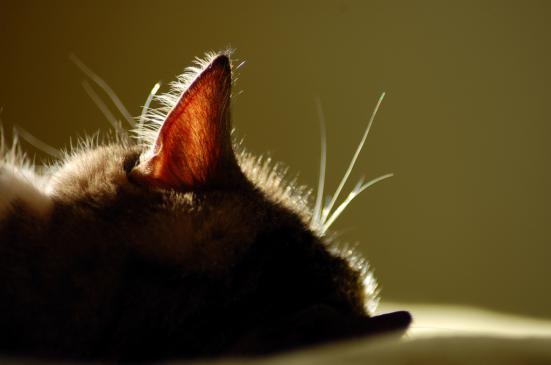 Świerzb u kota - objawy, leczenie