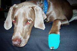 Co zrobić, gdy pies skaleczy łapę?