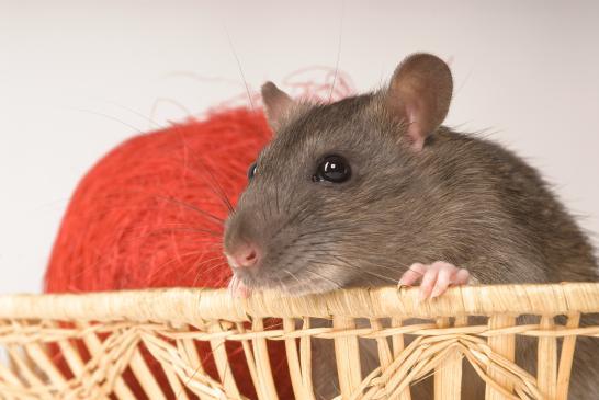 Jak hodować szczura w domu?