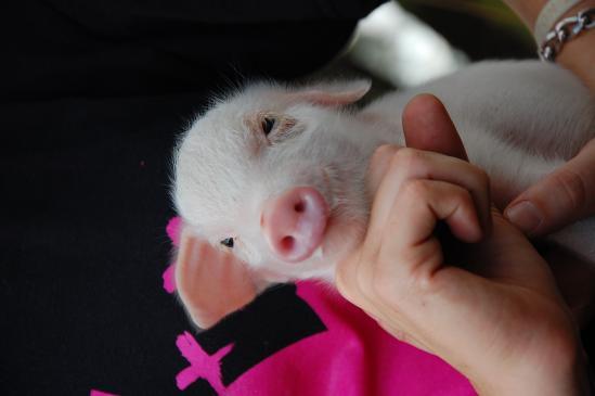 Świnka miniaturka - żywienie