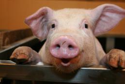 Świnka miniaturka - hodowla, opieka, cena