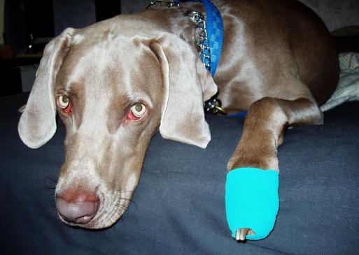 Jak opiekować się psem ze złamaną łapą?