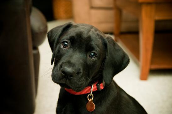Jak nauczyć psa noszenia obroży?