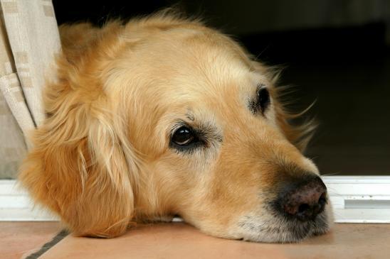 Dyskopatia u psa - objawy