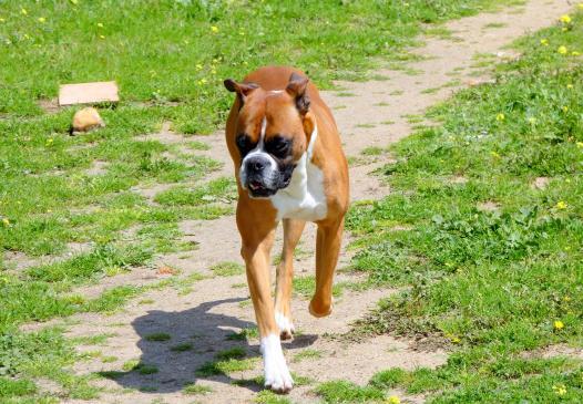 Co to jest kopiowanie uszu u psów?