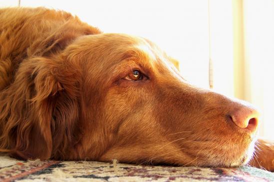 Przepuklina u psa - objawy