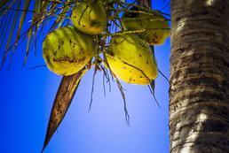 Olej kokosowy - zastosowanie, działanie, właściwości